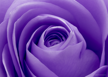 VIOLET ROSE_PRINTED PICTURE